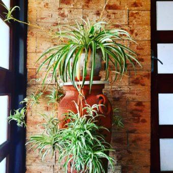 Spider-Plant-image