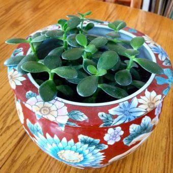 Jade-Plants-image