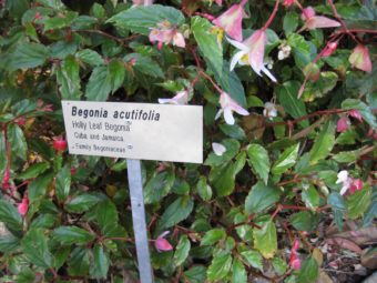 Holly-Leaf-Begonia