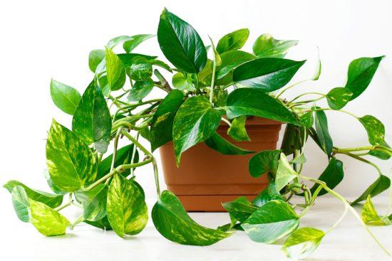 Pothos-Plant